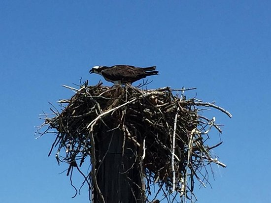 Urbanna, Вирджиния: One of dozens of Ospreys you'll see on the cruise
