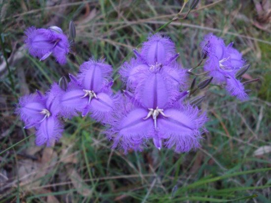 Ferntree Gully, Australia: Fringed lily. One of many windflowers at great reserve