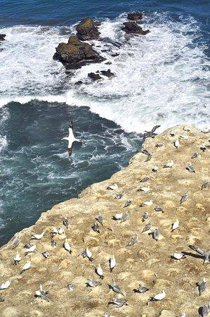 Muriwai Beach, Nueva Zelanda: Gannet colony