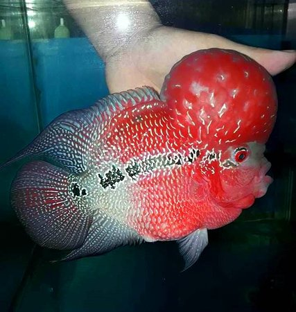 Flowerhorn for sale by thaiFH com - Picture of Eden Center