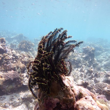 Busuanga Island, Filippinene: The marine life in the water off Black Island beach #2