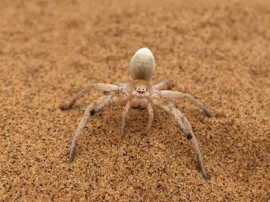 White lady spider - Picture of Living Desert Adventures ...