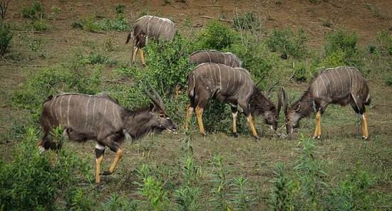 Zululand, Sydafrika: One of the sub-species of antelope in abundance around the park