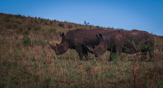 Zululand, Sør-Afrika: rhinos were quite numerous too - in groups of 2-4