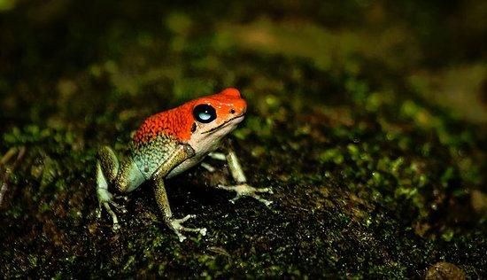 Puerto Jiménez, Costa Rica: Poison Dart Frog