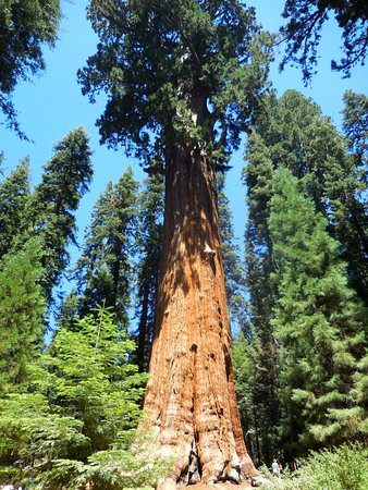 Three Rivers, Californien: The largest tree in the world