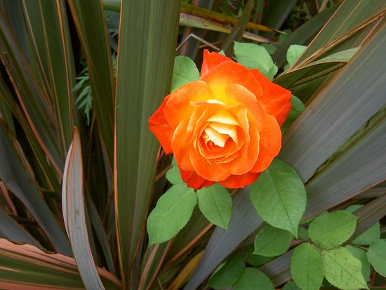 Aylesford, UK: A rose of Peace