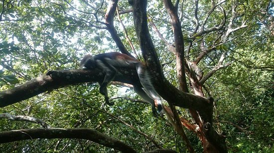 Zanzibar Island, Tanzania: morning mood with red colobus monkey