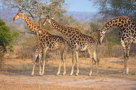 Londolozi Private Game Reserve, Sudáfrica: A Journey Of Giraffe