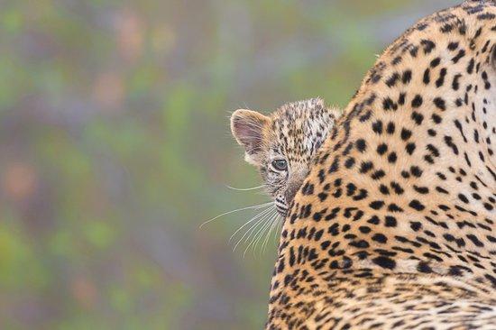 Londolozi Private Game Reserve, Sudáfrica: Baby Leopard
