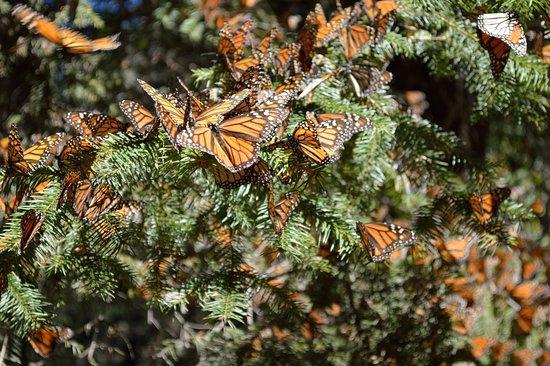 Resultado de imagen para mariposa monarca el rosario