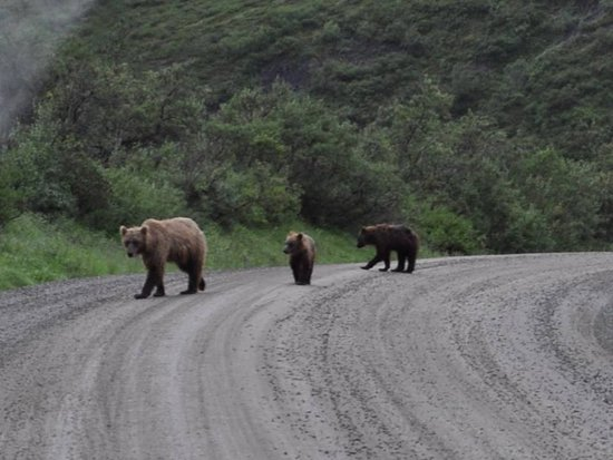 Denali National Park Campgrounds: Mama and grizzly cubs