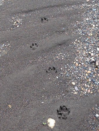 Denali National Park Campgrounds: Wolf prints on the Teklanika River bed