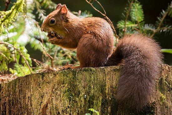 Kilsyth, UK: Red squirrel in the Queen Elizabeth Forest Park