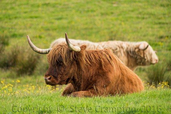 Kilsyth, UK: Highland cattle