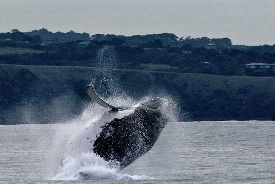 Cowes, Australien: The Humpback Breaching