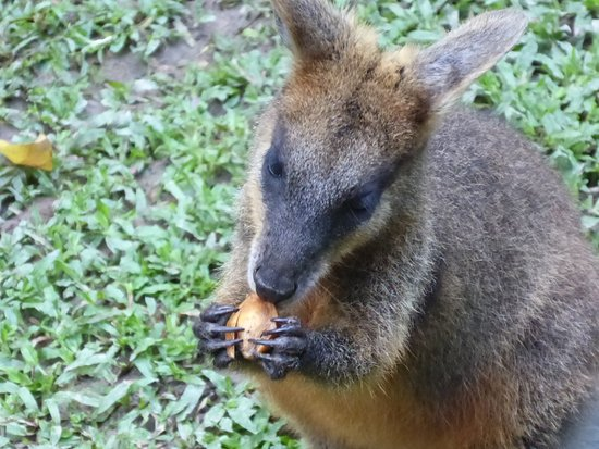 Diwan, Australia: One of the resident wallabys