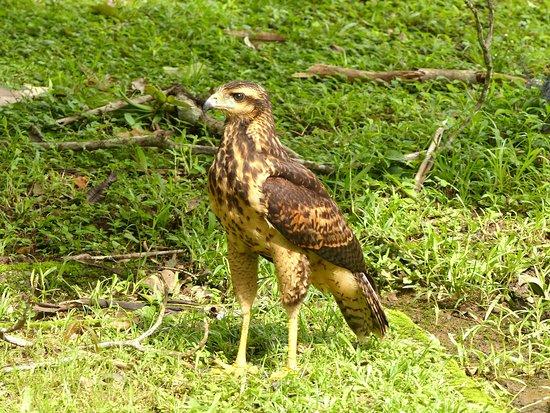 Ivan's Bed & Breakfast Birding Lodge: Great Black Hawk (juvenile)
