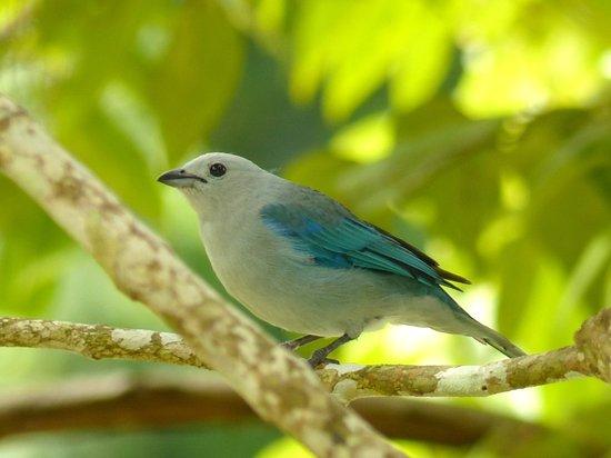 Ivan's Bed & Breakfast Birding Lodge: Blue-Grey Tanager