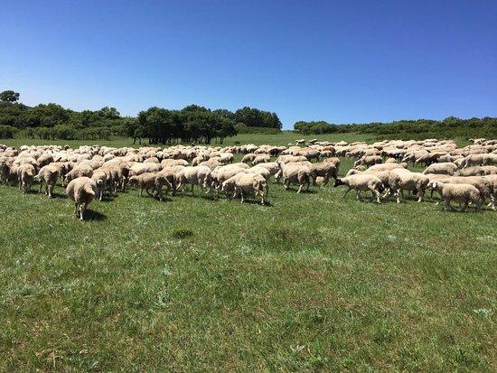 Chifeng, จีน: 草原上羊群