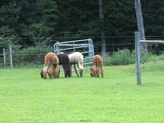 Hackettstown, Nueva Jersey: alpaca butts