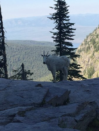 Sperry Chalet: Morning greeting from resident Mountain Goat!