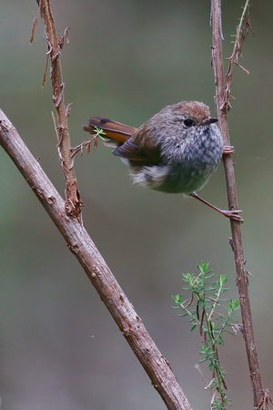 Tasmania, Australia: Birds are a major feature of the Great Western Tiers.