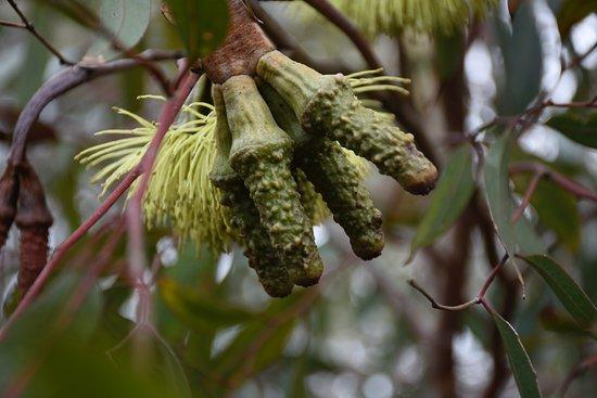 Melton, Australia: Eucalyptus megacornuta or Warted Yate