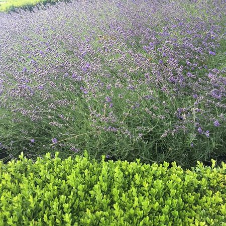 West Kelowna, Canadá: Beautiful lavender