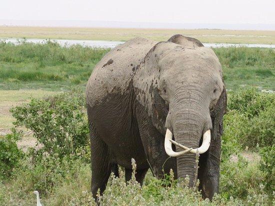 Porini Amboseli Camp : Elephant just from the swamp in Amboseli!