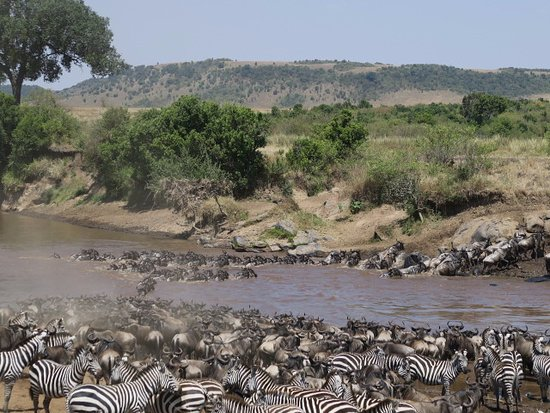Porini Mara Camp: Wildebeest & Zebra trying to cross, 2 crocs lying in wait and 3 aggressive hippos in attendance!