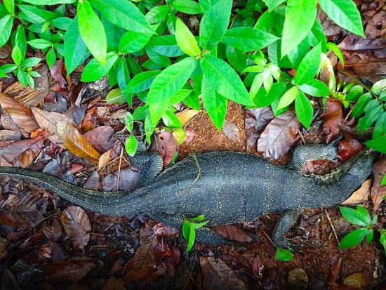 MacRitchie Reservoir: Monitor lizard spotted! :)
