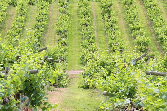 Newent, UK: The vineyard