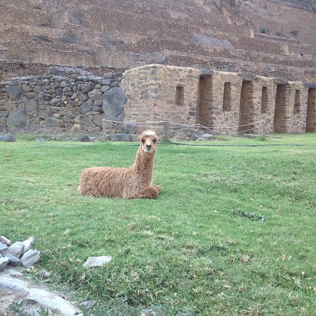 El Albergue Ollantaytambo: A friendly alpaca in the Archaeological Site grounds.