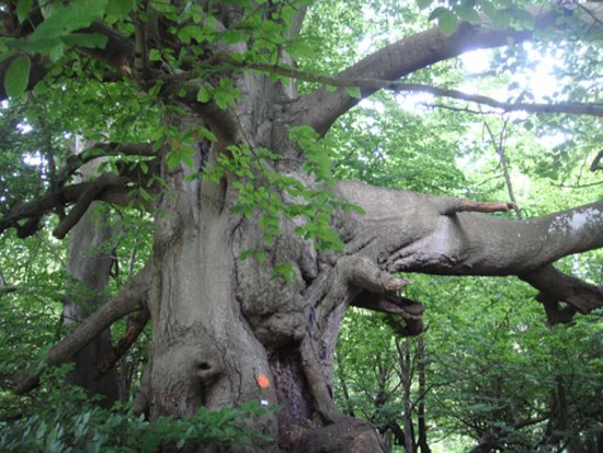 Northleach, UK: A very artistic magnificent tree in the Park