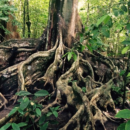 Puerto Jiménez, Costa Rica: Baumriese im Corcovado