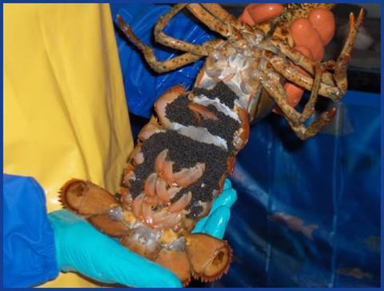 Pictou, Canada: Berried female lobster