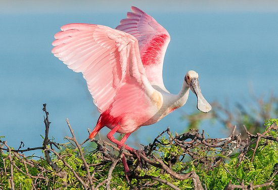 Roseate Spoonbill, Official bird of Port Aransas
