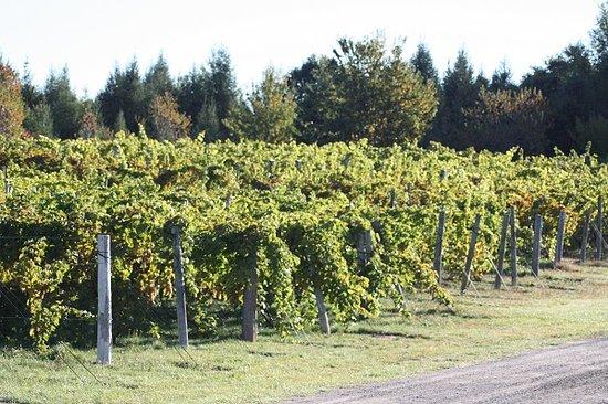 New Era, MI: vineyard