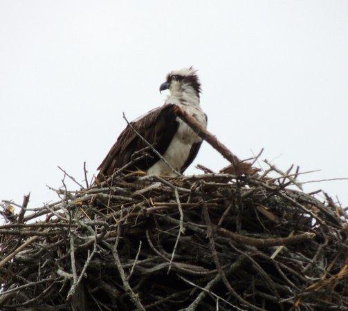 Naval Live Oaks Reservation: Osprey