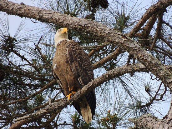 Naval Live Oaks Reservation: Bald Eagle on Santa Rosa Sound