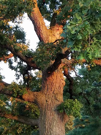 Batavia, IL: Old oak tree forest in the park