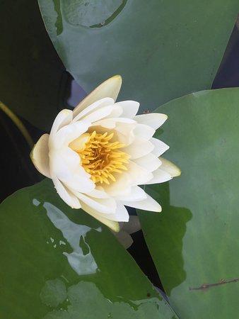 Boynton Beach, FL: Water lilies