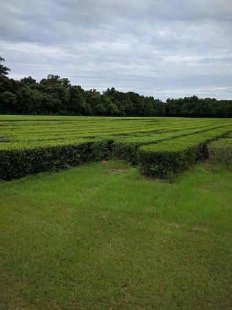 Wadmalaw Island, Carolina del Sud: IMG_20160802_103740_large.jpg
