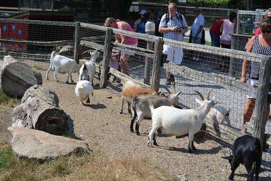 Ridgetown, Canada: Goats