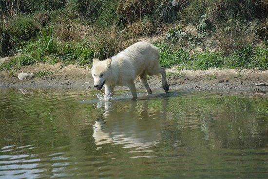 Ridgetown, Canadá: Timber Wolf