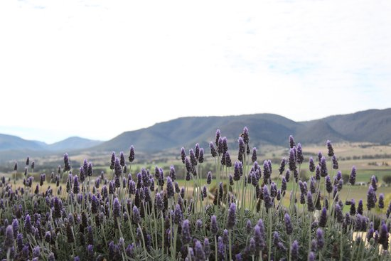 Yangan, Australië: Lavender gardens with view over valley