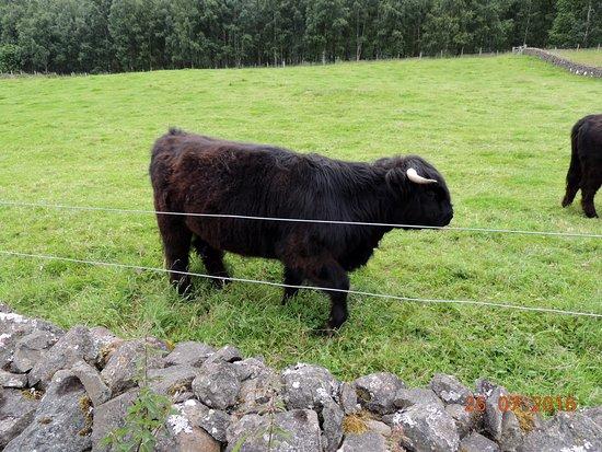 Newtonmore, UK: Highland Cow