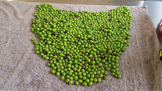 Latrobe, Австралия: Olives from the latest pick