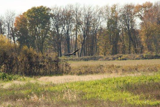Shiawassee National Wildlife Refuge, birds of prey.